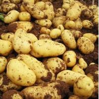 Buy cheap Selling Fresh Potato From China,Fresh Holland Patato goof quality from wholesalers