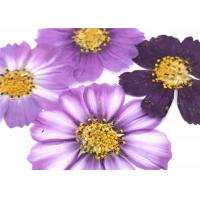 China Variegated Cosmos decorative flowers, Framed Pressed flowers For Press Painting Home Decoration wholesale