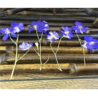 China Candle Decoration Dried Flower Art , Larkspur With Stem DIY Pressed Flowers wholesale