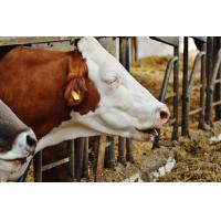 Ammonia Adsorbing From Cattle and Pigs Natural Zeolite