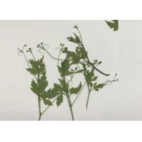 China Green Pressed Flower Artwork , Decoration Pea Plant Drying And Pressing Flowers wholesale