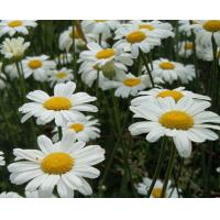 China Pyrethrum Extract CAS 8003-34-7 wholesale