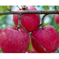 China 50%-90%Apple Polyphenols,Pyrus Malus Fruit Extract,Malus sylvestris extract CAS:85251-63-4 wholesale