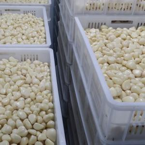 Quality Chinese fresh peeled garlic, vacuum packed peeled garlic cloves for sale