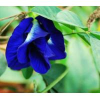 China Butterfly pea Extract, Clitoria ternatea powder, Blue powder, Shaanxi Yongyuan Manufacture, high quality wholesale