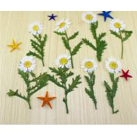 China Small Chrysanthemum Dried Pressed Flowers Size Customized For DIY Christmas Card wholesale