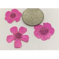 China Buttercup Dried Pink Flowers , Small Pressed Flowers For Plant Teaching Specimen wholesale