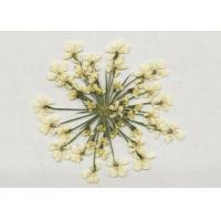 China White Lace Dried Pressed Flower Diameter 1.5-2.5CM Plant Material For DIY Holiday Gift wholesale