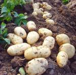 Selling Fresh Potato From China,Fresh Holland Patato goof quality