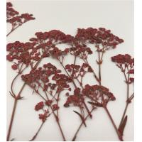 China Baby'S Breath Dried Pressed Flowers , Preserving Dried Flowers For DIY Pendant on sale