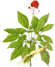 Panax Ginseng P.E., Ginsenosides 80%UV, Ginseng stem leaf Extract, natural skin care ingredients, SHaanxi Yongyuan Bio