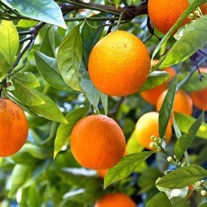 ISO Factory bulk supply Pure natural citrus extract diosmin CAS NO 520-27-4