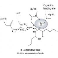 China 9002-07-7 , Recombinant Trypsin / Amino Acid Sequence Is Identical To Porcine Pancreas-Deri wholesale