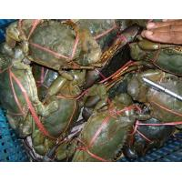 Buy cheap Seafood fresh frozen mud crab price for sale with superior service from wholesalers