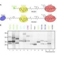 China Staphylococcus Aureus v8 Protease  Glutamic Acid Proteases for Analyzing Protein Sequencing wholesale