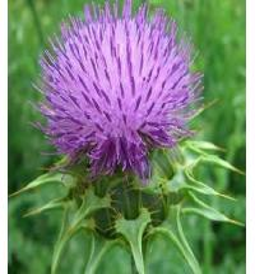 China Chinese herbal medicine Silybum marianum Extract Silymarin/Silybin powder 22888-70-6 wholesale