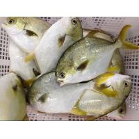 China Good quality frozen seafood golden pomfret whole round frozen golden pompano fish wholesale