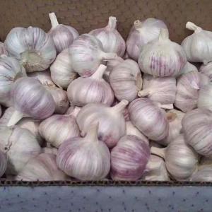 China Quick Freezing Fresh Garlic wholesale