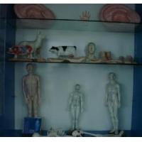 China Acupuncture Model wholesale