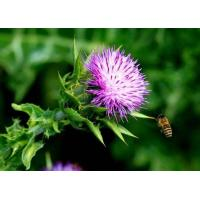 Buy cheap Milk thistle extract---New Mstar---Simin from wholesalers