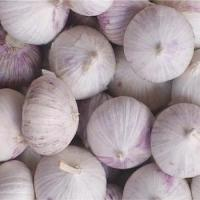 China Fresh Garlic Single Clove wholesale