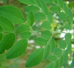 China Moringa oleifera leaf extract powder wholesale