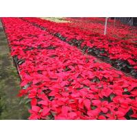 Wholesale Cultivation and management of Poinsettia from china suppliers