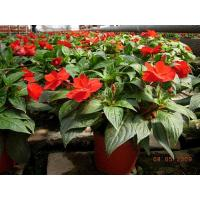 Daily management of New Guinea Impatiens