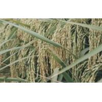 Wholesale Hybrid paddy from china suppliers