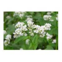 Wholesale Buckwheat Plant Extract from china suppliers
