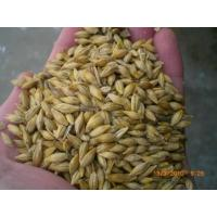 Wholesale Barley from china suppliers