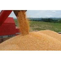 Wholesale Yellow Corn from china suppliers