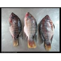 China FROZEN SEAFOOD tilapia whole round wholesale