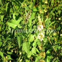Wholesale Peppermint Oil from china suppliers