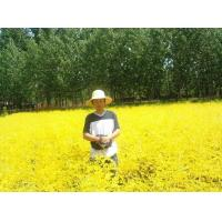 """Wholesale Sophora japonica """"Golden leaf"""" from china suppliers"""