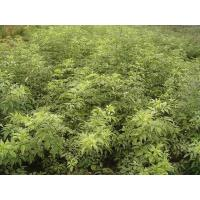 Wholesale Sambucus racemosa 'Silveredged' from china suppliers