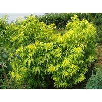 Wholesale Sambucus racemosa 'Plumosa Aurea' from china suppliers