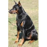 China Doberman Pinscher Spiked Leather Harness wholesale