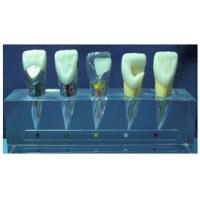 Wholesale JY/B10015 Clinical Model of Endodontics from china suppliers