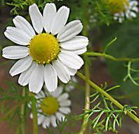 Wholesale Cosmetic series English  Chamomile Extract from china suppliers