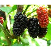 China Mulberry Extract wholesale