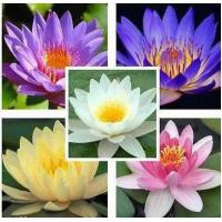 China 25 Seeds Aquatic Lotus Mixed Colors Water Lily Flower wholesale