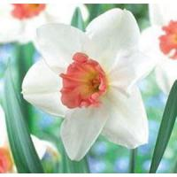 Wholesale Flowers Daffodil, Perfect Lady from china suppliers