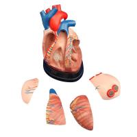 China Middle Heart Model Product No: XC-307D wholesale