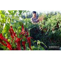 China Chillis Dried Red Hot Chilli wholesale