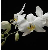 Orchid Flower White Cattleya Flower