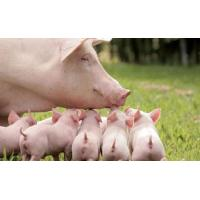 China Enzyme preparation Complex enzyme for pig wholesale