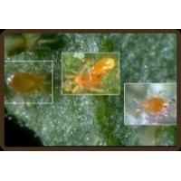 China The Pest: Spider Mites wholesale