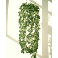 Wholesale Hanging Plants Cissus Ivy from china suppliers