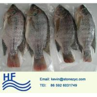 Whole Round Tilapia
